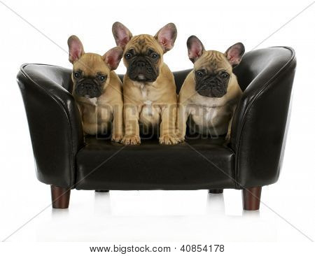 french bulldog litter - three frenchies sitting on a dog couch isolated on white background