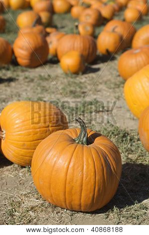 Vertical group of pumpkins in a pumpkin patch