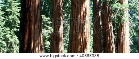 Group of Sequoia redwood trees