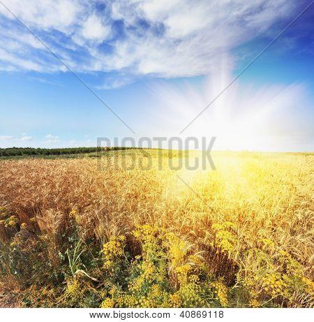 Bright rays of sunlight illuminate a field of ripe wheat