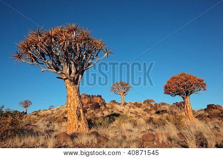 Quiver Tree landschap
