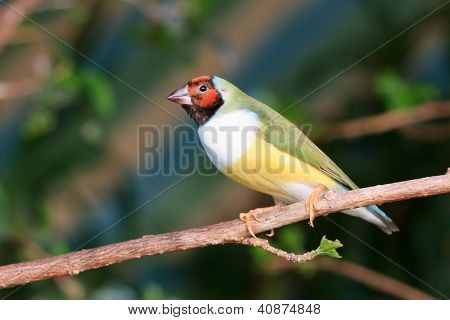 Finch Sitting On A Branch In The Forest
