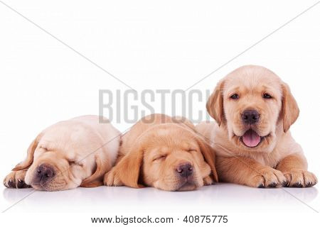 three labrador retriever puppy dogs  on white background, two sleeping and one barking to the camera