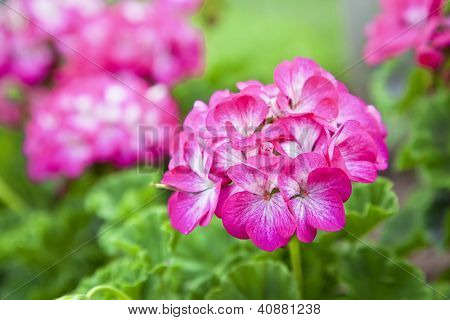Pink bicolor geraniums in the home garden.