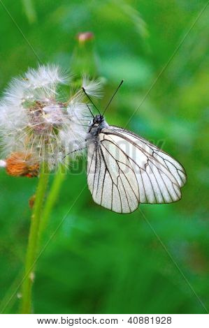 Butterfly On The Dandelion. Shallow Dof.