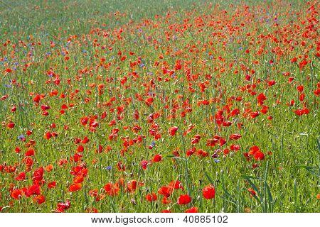 Blooming poppy field (Papaver Rhoeas)