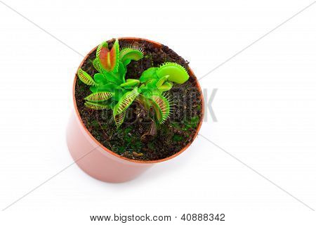 Venus Flytrap Plant (dionaea Muscipula) In A Pot, On White Background.