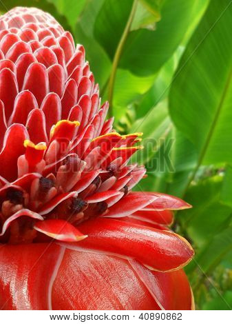 Red Torch Ginger (Etlingera etlatior)
