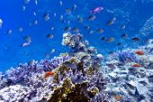 stock photo of fire coral  - coral reef on the bottom of red sea with hard fire corals and exotic fishes - JPG
