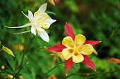 stock photo of columbine  - Red yellow and white columbine flowers on green garden background - JPG
