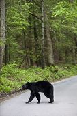 stock photo of gatlinburg  - Bear crossing the street stops traffic in the Smoky Mountains - JPG
