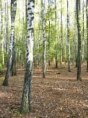 image of birchwood  - The image of beautiful birchwood in the autumn - JPG