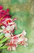 picture of oleander  - Oleander flowers against a green watercolour background - JPG