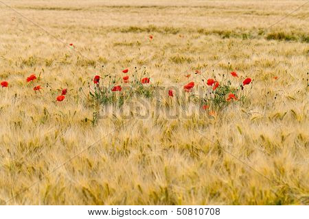 Beauty red poppies on the corn field