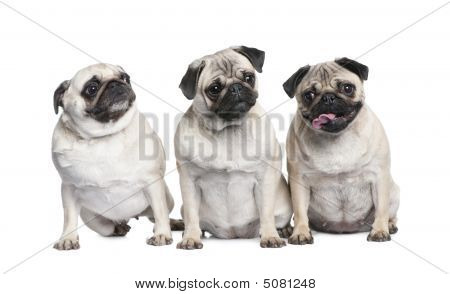 Group Of Three Pug In A Row