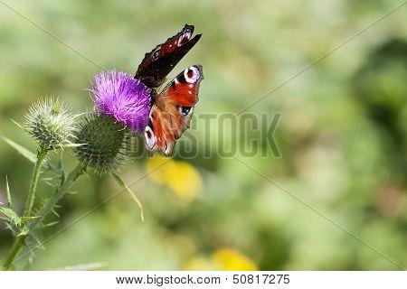 Peacock - Inachis io - thistle