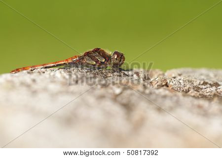 Common Darter - macro shot