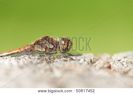 Common Darter - super macro