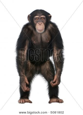 Young Chimpanzee Standing Up Like A Human - Simia Troglodytes (5 Years Old)
