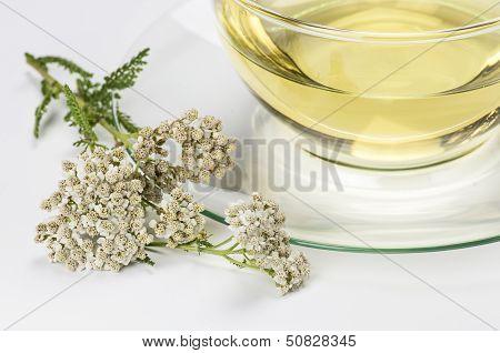 Fresh blossom of common yarrow