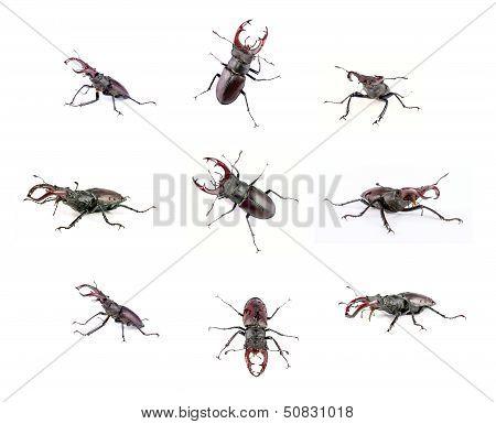 Stag- Beetle