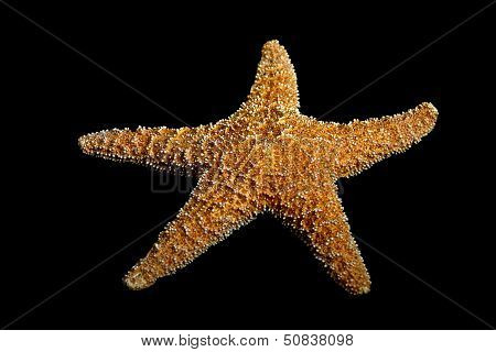 Starfish On Black