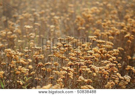Field Of Dry Sagebrush