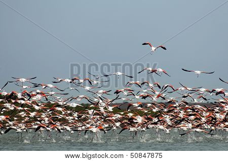 Fllock Of Flamingos,  In Flight.