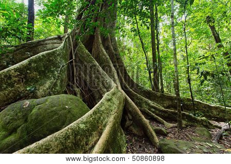 Large fig tree trunk and roots in tropical rainforest, Khao Yai national park, Thailand