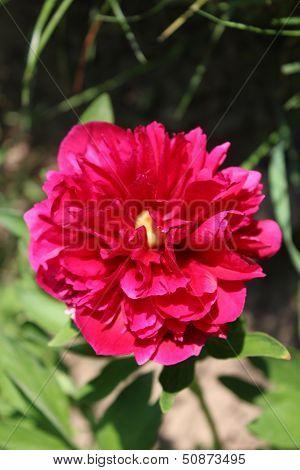 Red Flower Of Peony