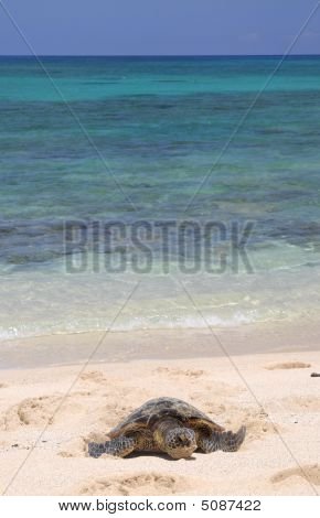 Hawaiian Turtle And Sea.