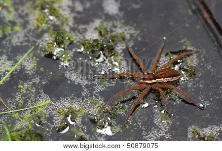 Great Fen Raft Spider (Dolomedes plantarius)