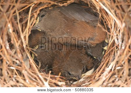 Baby Birds - House Wrens