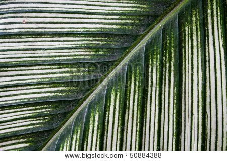 Dieffenbachia Green Leaf Background Texture Pattern.