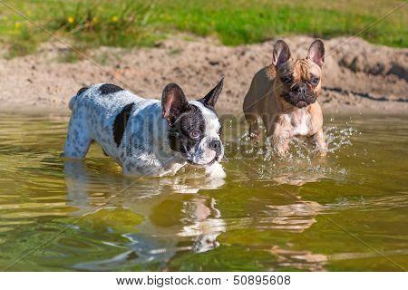 French bulldogs at the lake