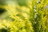 stock photo of conifers  - conifer in garden with shallow focus for background - JPG