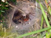 stock photo of cobweb  - Funnel spider patiently waiting until prey passes - JPG