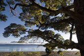 Beech tree on lake Te Anau, South Island, New Zealand