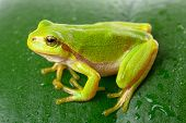 stock photo of exotic frog  - Green tree frog on the leaf close up - JPG
