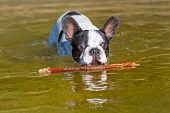 stock photo of bulldog  - French bulldog with stick at the lake - JPG