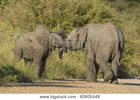 Two Juvenile African Elephant (loxodonta Africana) Play Fighting
