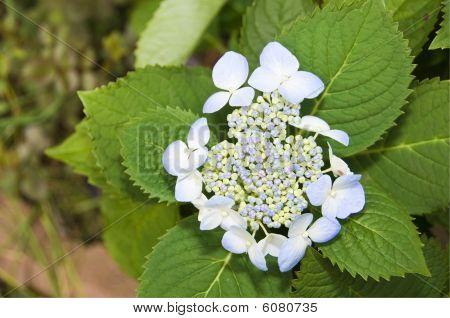 Lace-cap Hydrangea