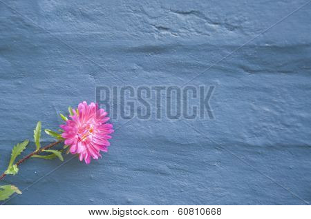 A Pink Aster