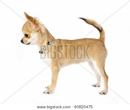 Nice chihuahua puppy with necklace