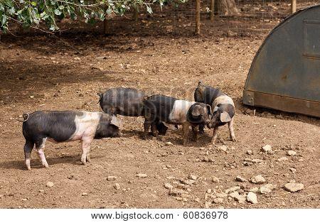 Saddleback Piglets