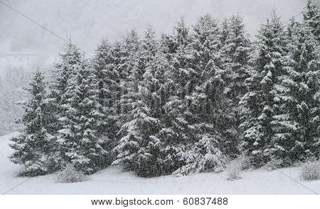 Whitewashed Trees During Copious Snowfall In Winter
