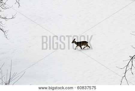 Young Roe Deer Amid The Snow White In Search Of Food