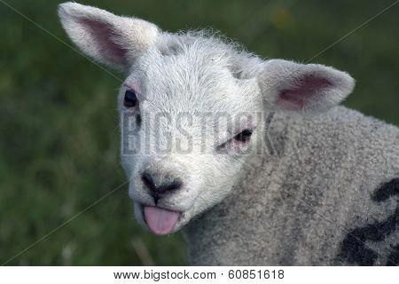 Curious young lamb