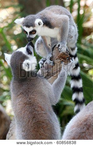Lemur Primates Greeting