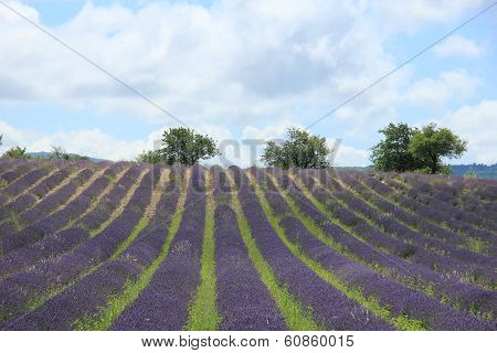Lavender Fields Near Sault, France